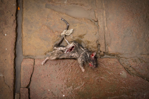 raton muerto