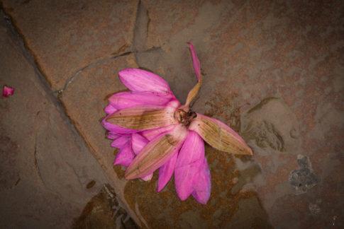 Flor loto